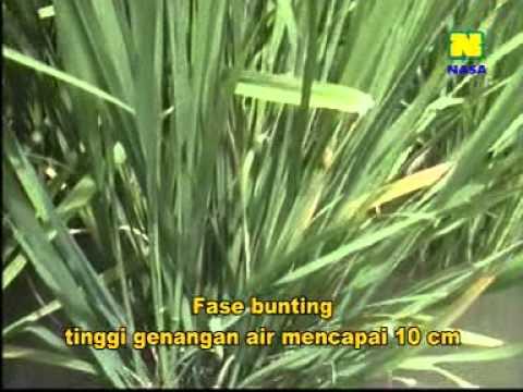 Video CARA BUDIDAYA PADI