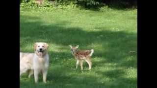 Золотистый ретривер и оленёнок