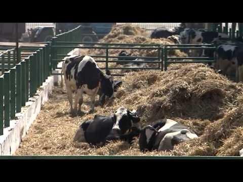 Молокогонные корма для коров: чем кормить чтобы было больше молока