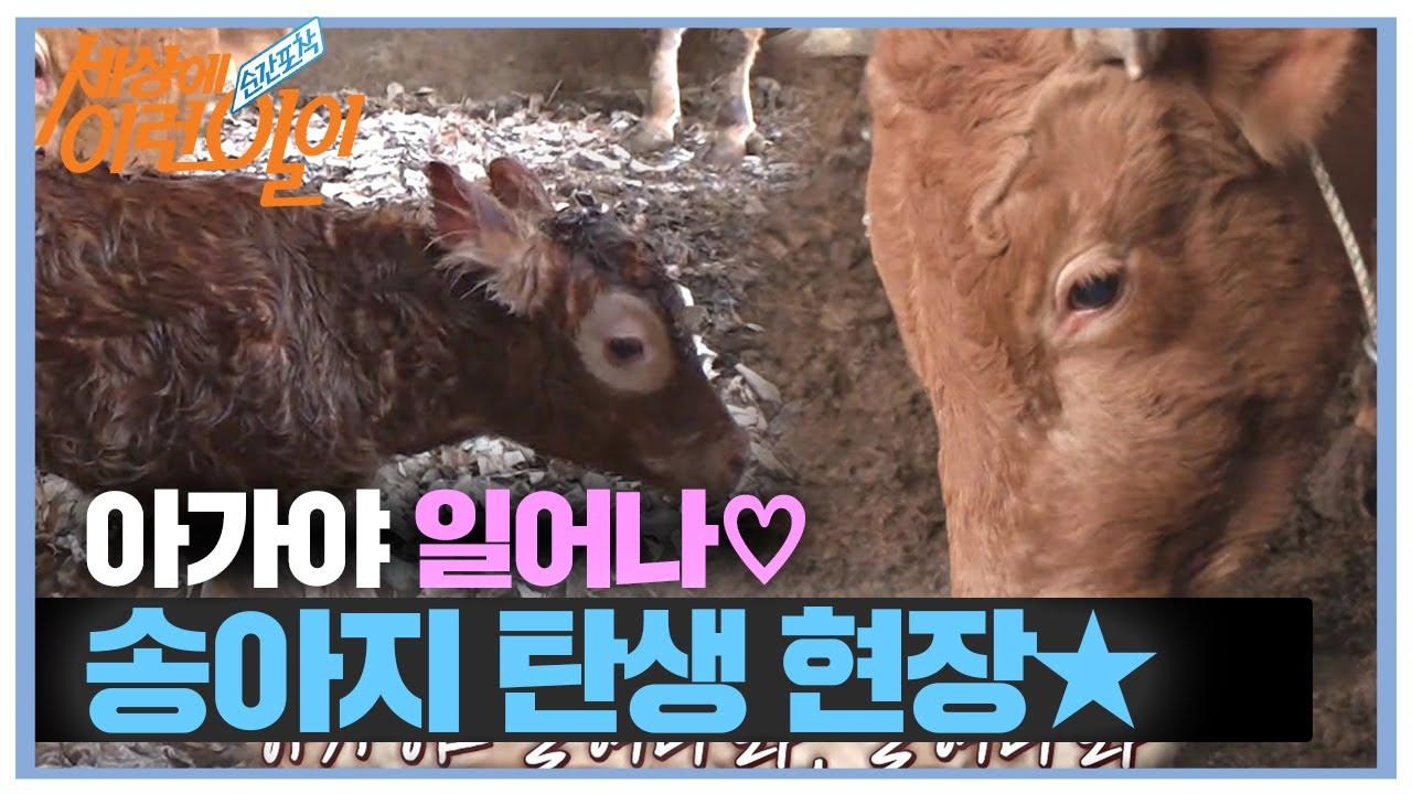 '새끼를 위하는 본능적인 사랑' 소 탄생 현장