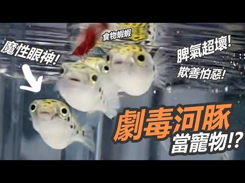 河豚養殖教學