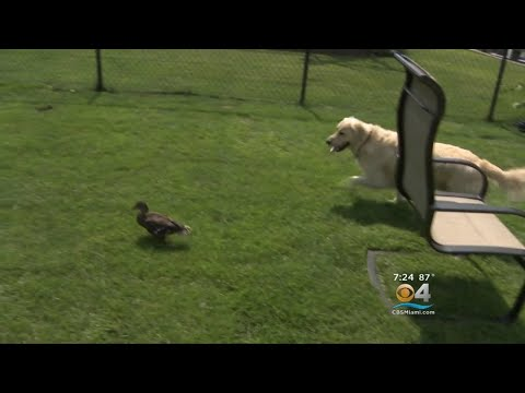 Not Your Ordinary Duck Tale As Dog And Duck Develop Unique Friendship