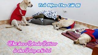 Phản ứng của Củ Cải bị cướp mất đệm   What does a Labrador Retriever do when I sleep on his bed