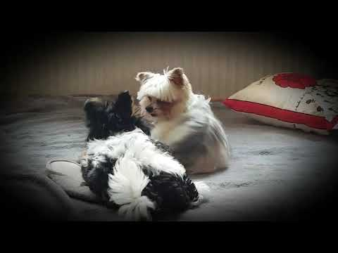 "Biewer Yorkshire Terrier ""Goliath & Murphy""  little lucky dogs"