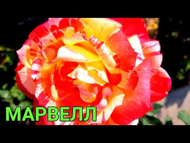 Чайно-гибридная роза Марвелл(Marvelle ) или Тропический закат.