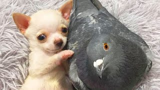 Tiny Dog and Pigeon Form an Unlikely Friendship