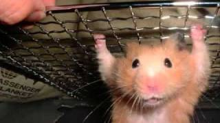 Awesome, Fat, And Cute Hamster Pics