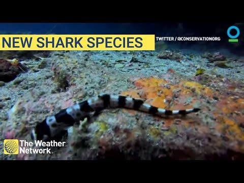 """澳大利亚发现新品种鲨鱼!这些鲨鱼的移动方式居然是""""行走""""?"""