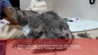 Опарыши заживо съели раненого котёнка  Новосибирск animal shelter asking for help