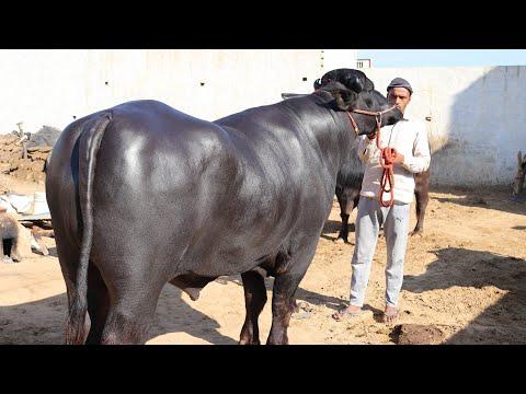 Beautiful Murrah Bull in a village - игровое видео смотреть онлайн