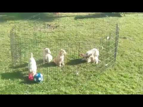 Goldendoodle pups playing outside