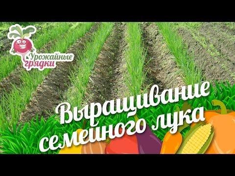 Выращивание семейного лука. Урожайные грядки