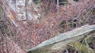 preview picture of video '2015/04/09 Golden-crowned Sparrow -- Findlay'
