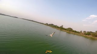 A beautiful Pelican flying - FPV - Drone video - Bird chase