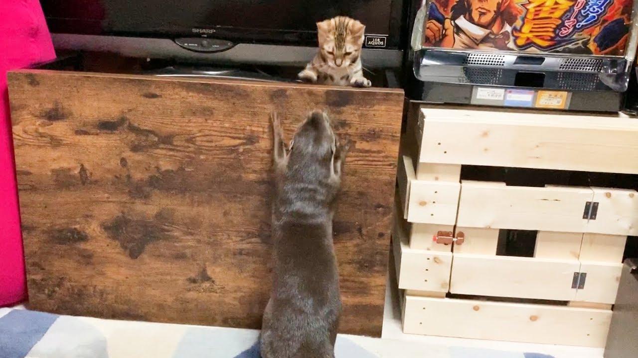 カワウソと子猫の本気の鬼ごっこが激しすぎたw