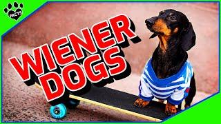 Dachshund Dogs 101 - The Fantastic Funny Wiener Dog