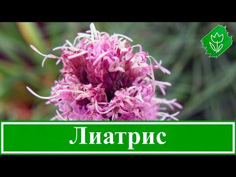 🌸 Цветок лиатрис – посадка и уход в открытом грунте, выращивание лиатриса колоскового