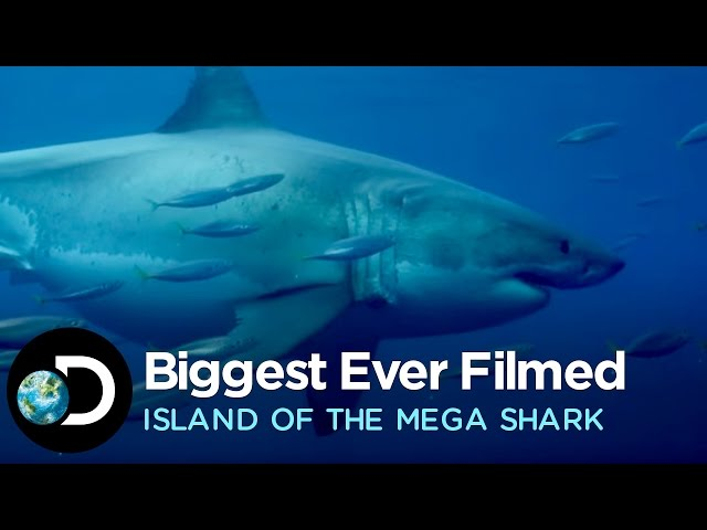 The Biggest Great White Ever Filmed | Island of the Mega Shark