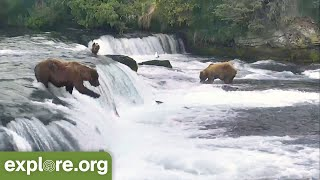 Top Bear and Wolf Salmon Catches