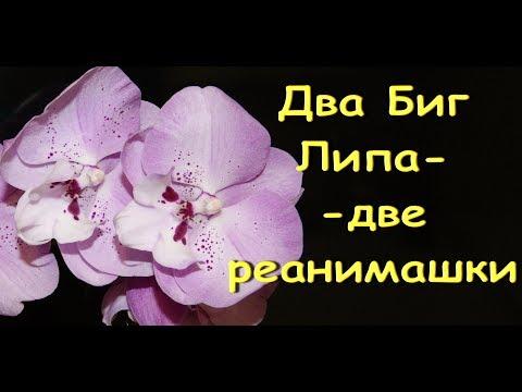ОРХИДЕИ:снова в РЕАНИМАШКИ(пересадка ПРЕКРАСНЫХ розовых БигЛипов).Привет Ольге и ее семье!