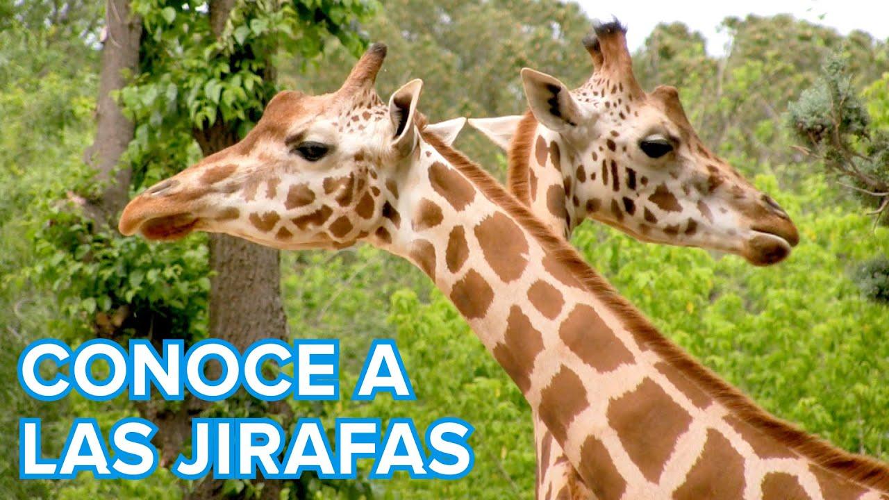 Cómo viven las jirafas | Vídeos de animales para niños