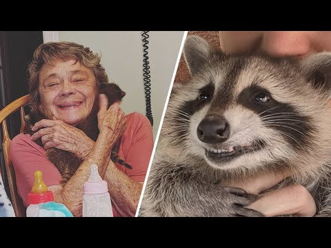 This Grandma Loves and Cares For Baby Raccoons