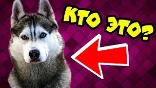 КТО ТАКОЙ ХАСКИ БАНДИТ? (Хаски Бублик) Говорящая собака