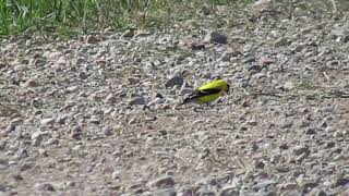 one of two American Goldfinch eating gravel from the road NE of Earl Grey SK June 26 2020
