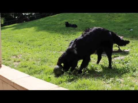 Hogan - my 31st Fosterdog through Sheryl's Den