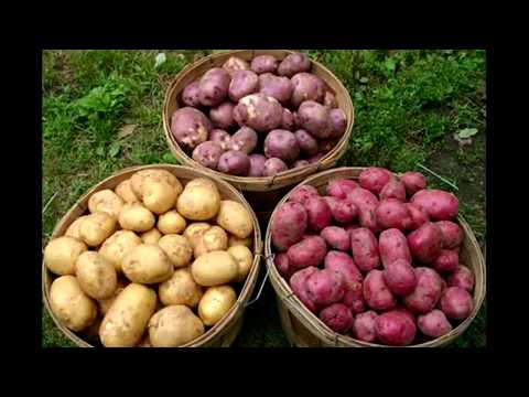 Большой урожай картофеля. Какое удобрение лучше для картофеля при посадке в лунку