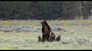 Wildlife Photography-Grizzly 399 & 4 cubs-Family Portraits-Jackson Hole/Grand Teton Park/Yellowstone