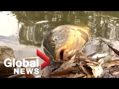 Thousands of fish mysteriously killed in Australia's Darling River