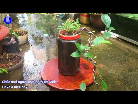 [Bonsai] Thử uốn cây Si mini dáng đổ | Try bending Ficus microcarpa (Curtain fig) to falling shape