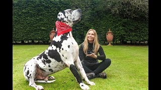THE GREAT DANE -  THE TALLEST DOG IN THE WORLD / Animal Watch