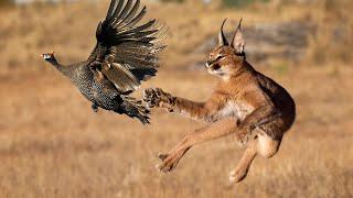 КАРАКАЛ — кот-прыгун, ОХОТНИК на птиц! Каракал ПРОТИВ шакалов. Интересные факты о каракалах.