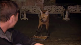 Steve Meets the Strange and Endangered Maned Wolf | Deadly 60 | Series 3 | BBC