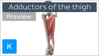 What Are the Adductor Muscles of the Thigh (preview) - Human Anatomy   Kenhub