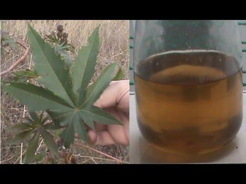 Cómo hacer aceite de ricino casero,  higuerilla, castor,  tartago, grillal - Ricinus Communis