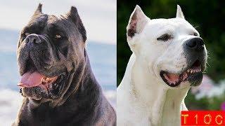 Top 10 perros mastines mas poderosos que existen
