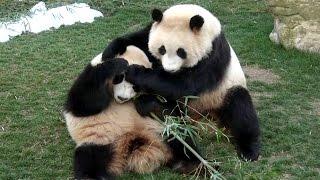【声もかわいい❤】ゆずれない!🐼桜浜&桃浜☆竹争奪戦♪【ふたごパンダ】Giant panda -Ouhin&Touhin-☆My bamboo~!!