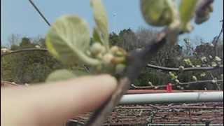 キウイフルーツ花のつぼみ