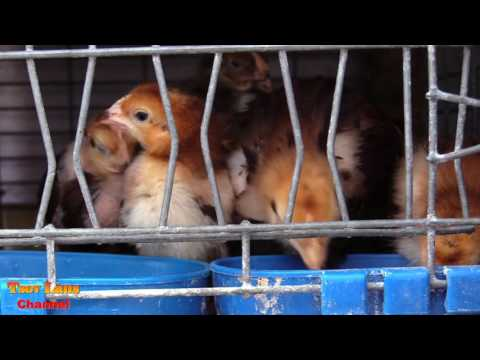Hmong American's Go Selling Chicken 2017