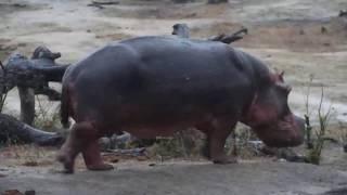 Djuma: Lone Hippo known as Steve leaving the pan - 05:20 - 11/20/19