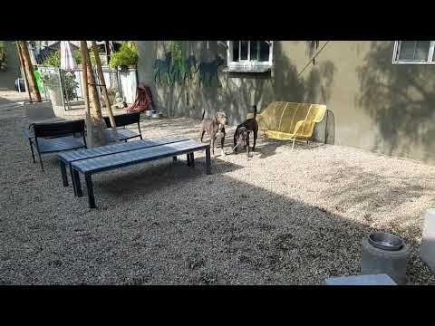 Mochi, an adoptable American Staffordshire Terrier in Pasadena, CA