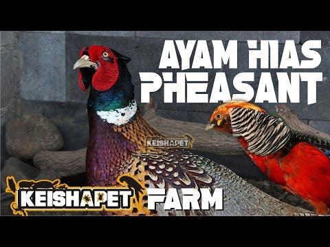 Video AYAM DARI SURGA - PHEASANT FARM KEISHAPET