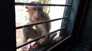 Wounded Monkey 🐒 eating Onion!!