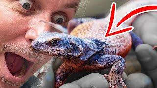 I GOT A CHUCKWALLA!! ONE OF MY DREAM LIZARDS!!! | BRIAN BARCZYK