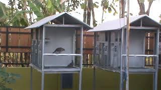 Inilah Farm Burung Derkuku Salsabila BF Bantul  DIY