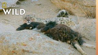 Snow Leopard Makes a Kill | Wild Cats of India: Big Cat Kingdom