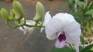 ഓർക്കിഡിന്റെ മഴക്കാല  സംരക്ഷണം / Orchid Care In Monsoon